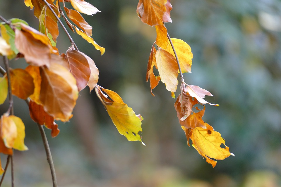 Fagus, Beech, Leaves, Autumn, Gold, Color, Season