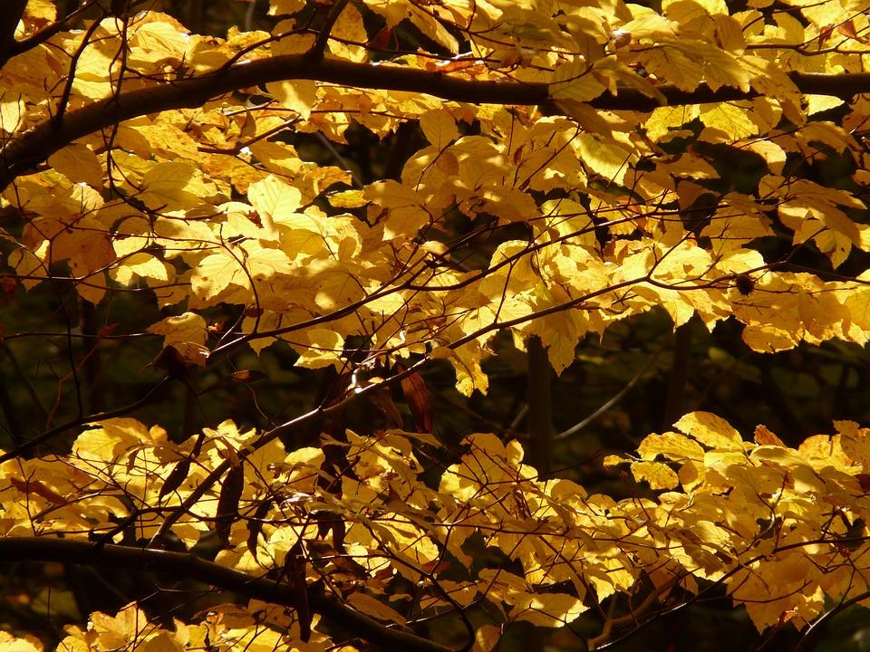 Beech, Fagus Sylvatica, Fagus, Forest, Golden Autumn
