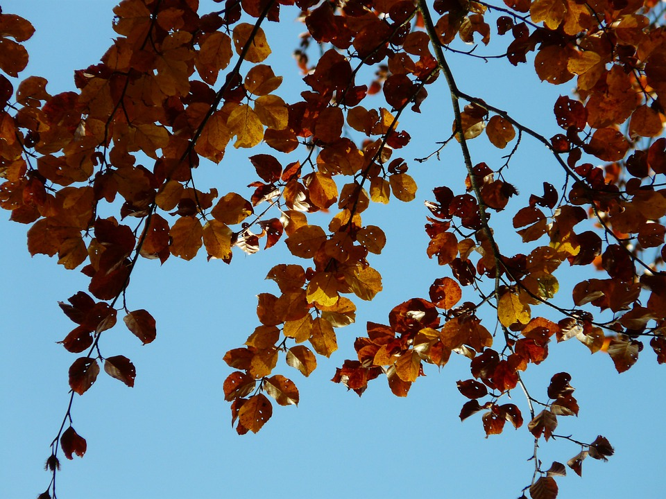 Beech, Fagus Sylvatica, Fagus, Forest, Autumn, October