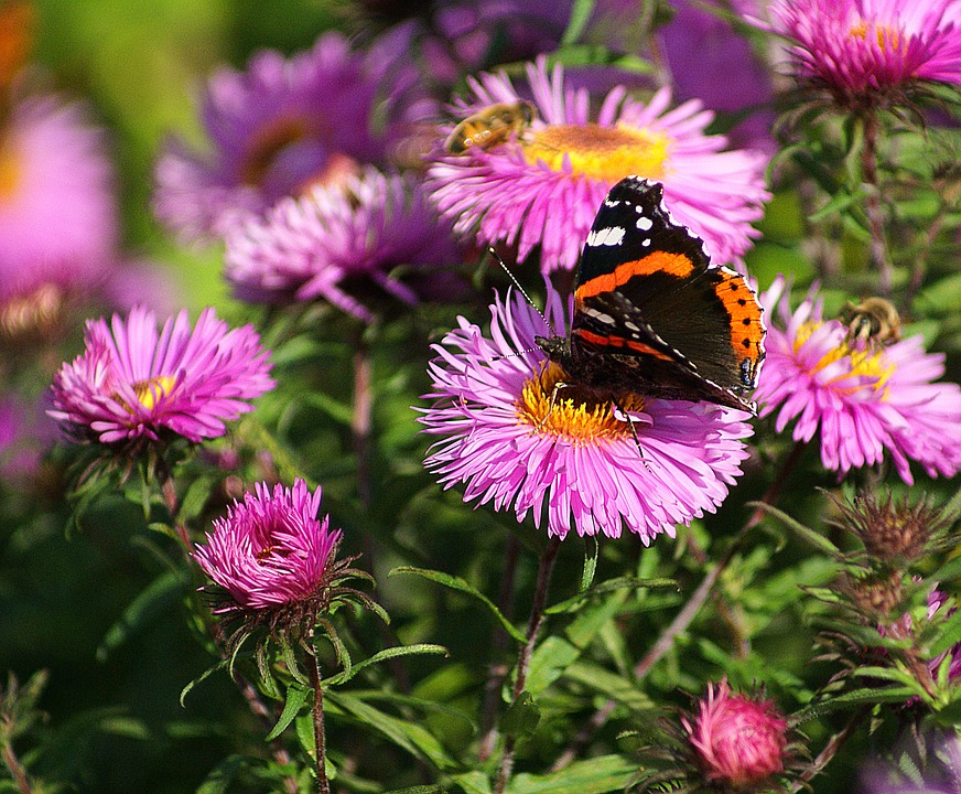 Fair Admiral, Butterfly, Insect, Pollination, Work