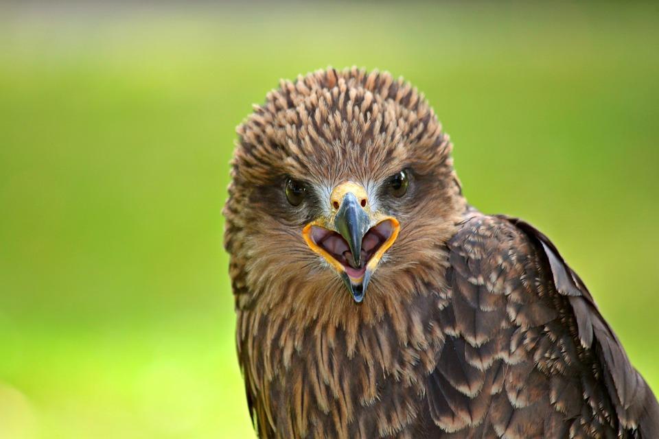 Falcon, Raptor, Bird, Bird Of Prey, Bird Portrait