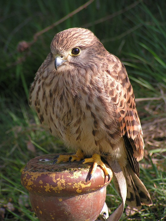 Kestrel, Falco Tinnunculus, Predator, Falconry, Sitting