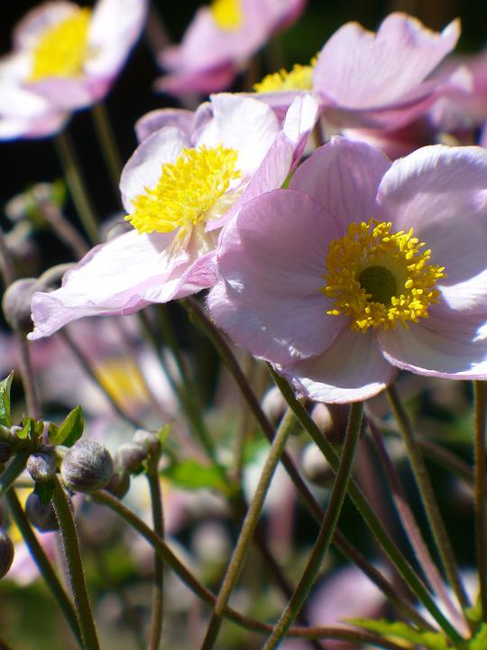 Fall Anemone, Flower, Bloom, Nature, Garden, Autumn