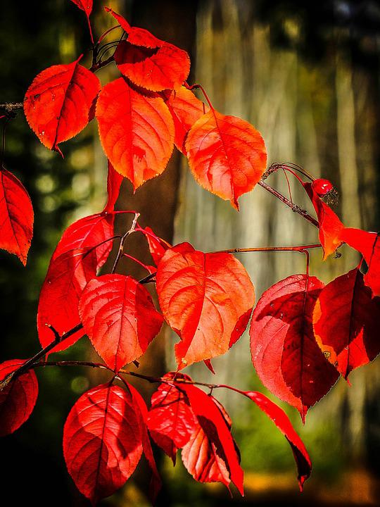 Autumn, Fall, Red, Leaves, Tree, Forest, Foliage