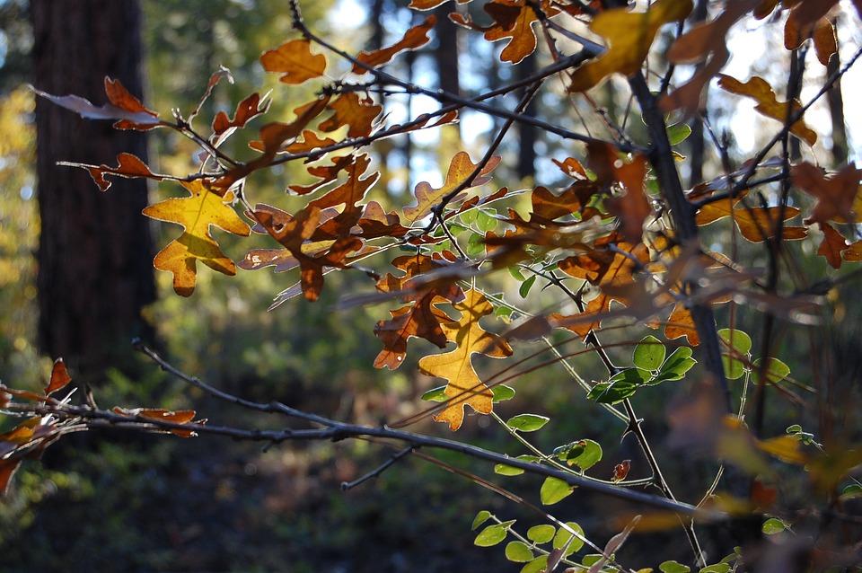 Oak Tree, Forest, Leaves, Autumn, Foliage, Fall, Tree