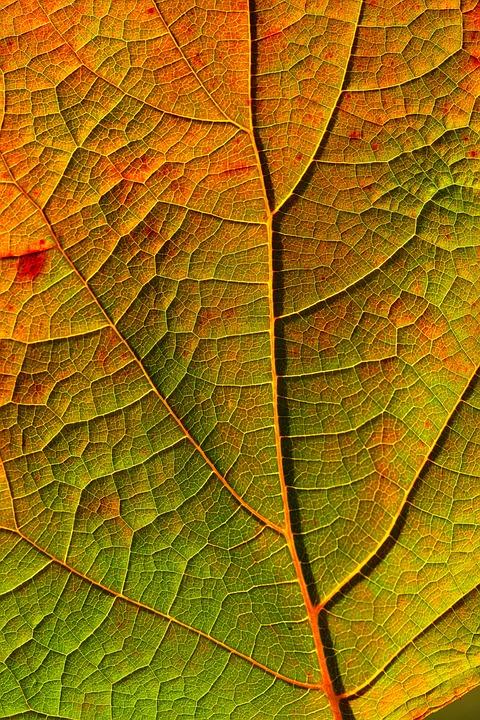 Leaf, Veins, Fall, Midrib, Autumn, Plant, Closeup