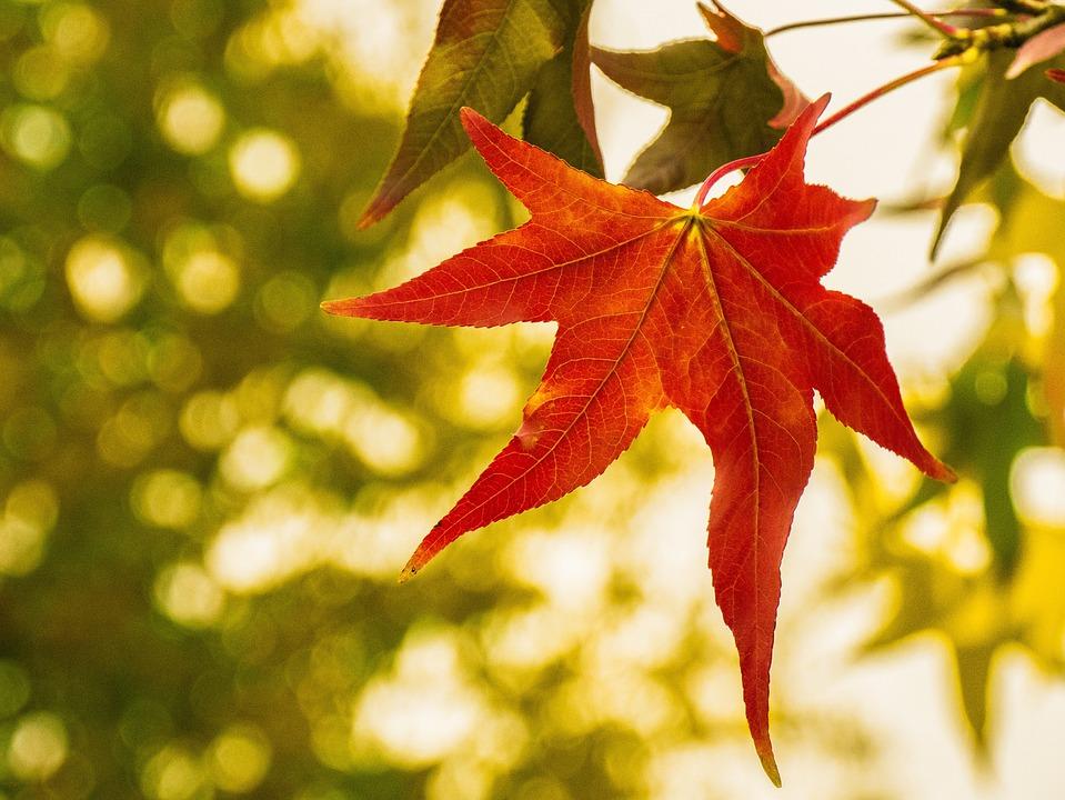 Leaf, Maple, Autumn, Fall Color, Bright