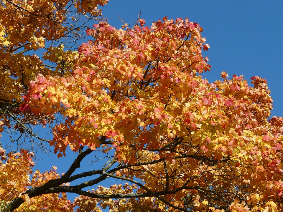 Branch, Tree, Autumn, Autumn Tree, Maple, Fall Color