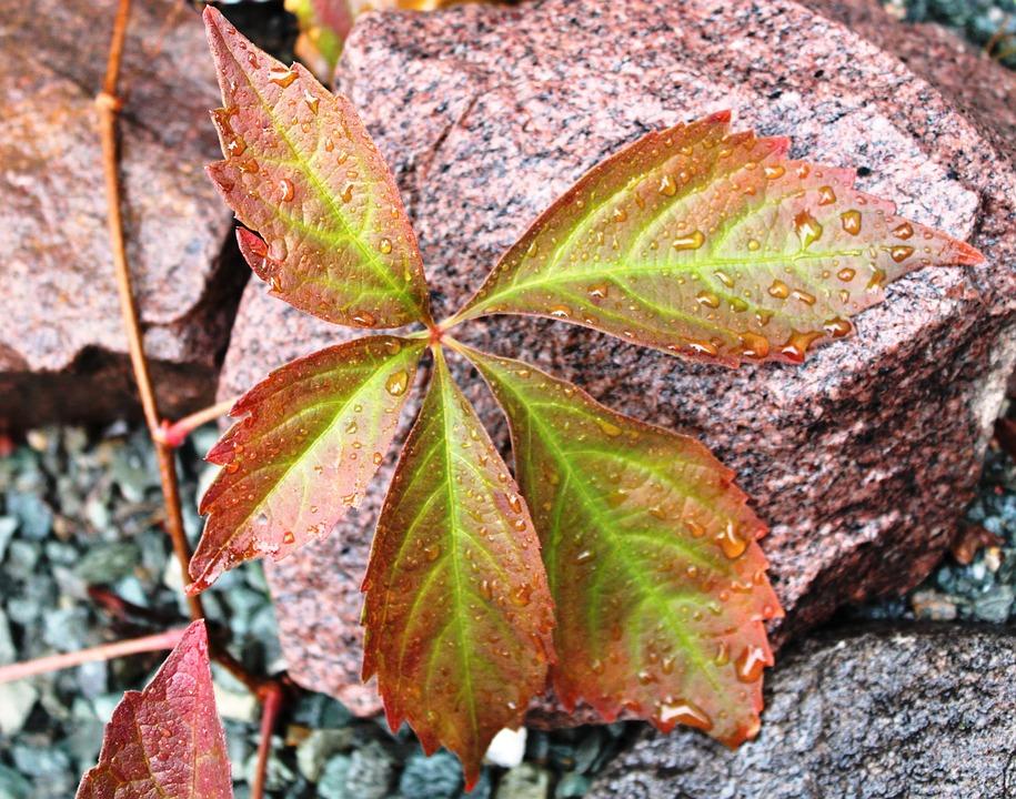 Fall Color, Vine Leaves, Stone