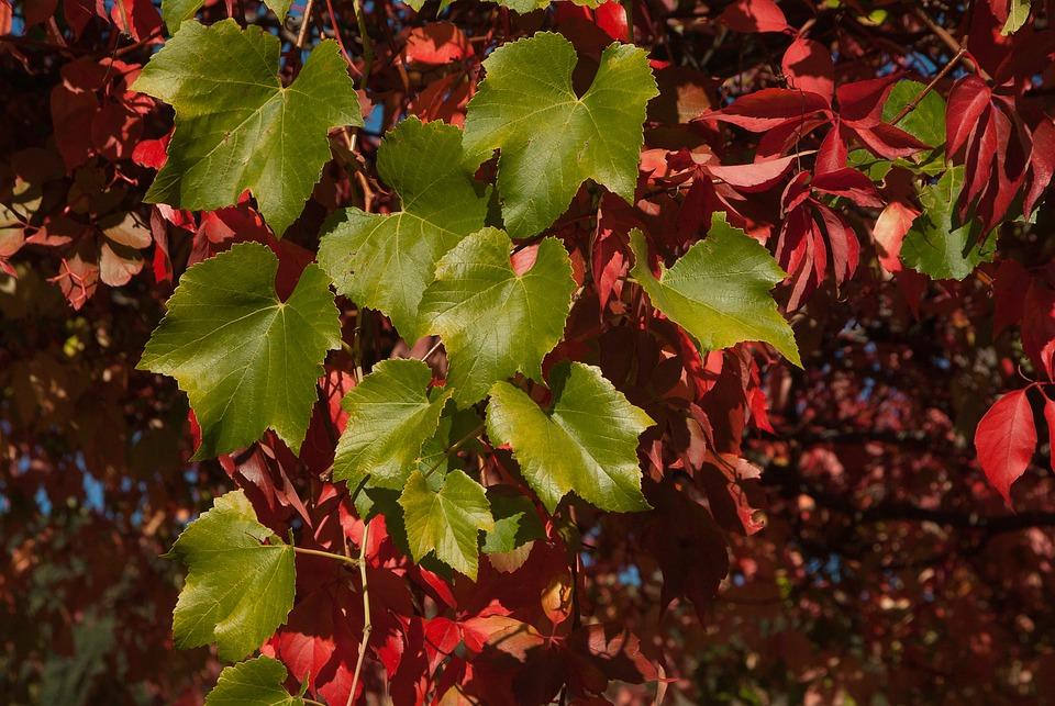 Creeper, Leaves, Fall