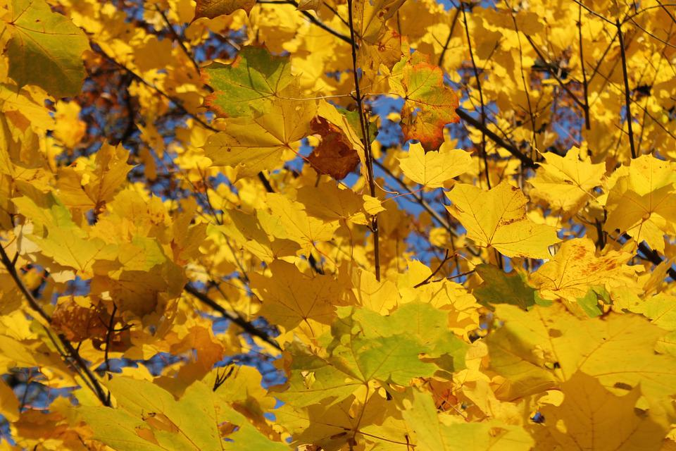 Fall Foliage, Colorful, Yellow, Gold, Autumn, Leaves