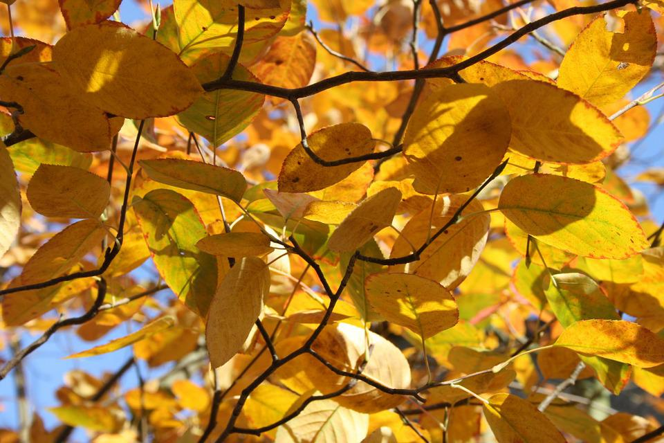 Beech, Autumn Mood, Fall Foliage, Beech Leaves, Yellow