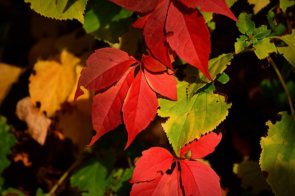 Leaves, Branch, Fall, Red Leaves, Foliage, Tree, Plant