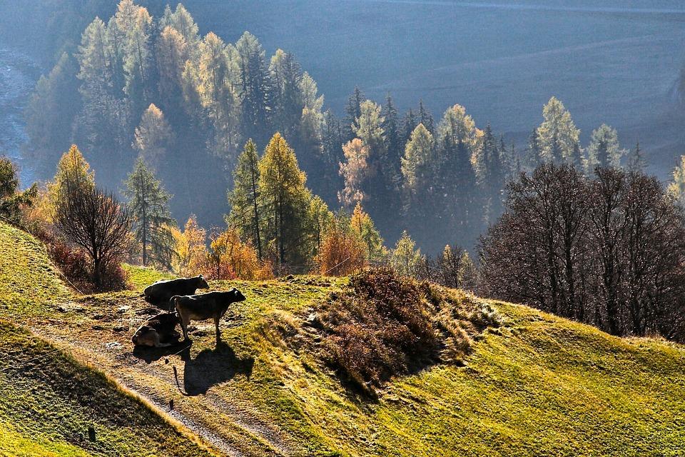 Cattle, Cow, Alpine, Autumn, Fall, Foliage, Pasture
