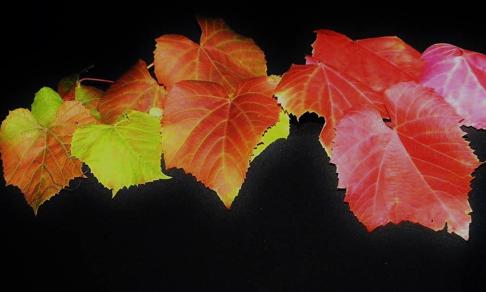 Vine Leaves, Fall Foliage, Colorful, Golden Autumn