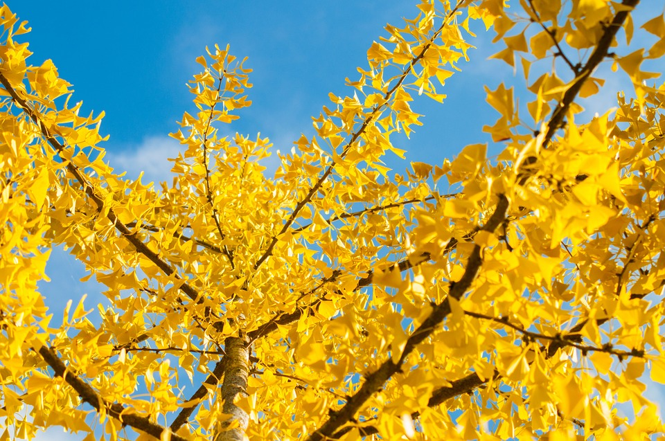 Fall, Yellow, Sky, Nature, Color, Leaves, Tree, Foliage