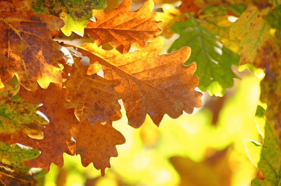 Oak Leaves, Autumn, Fall Foliage, Leaves, October