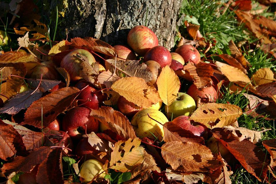 Apple, Orchard, Windfall, Autumn, Fall Foliage