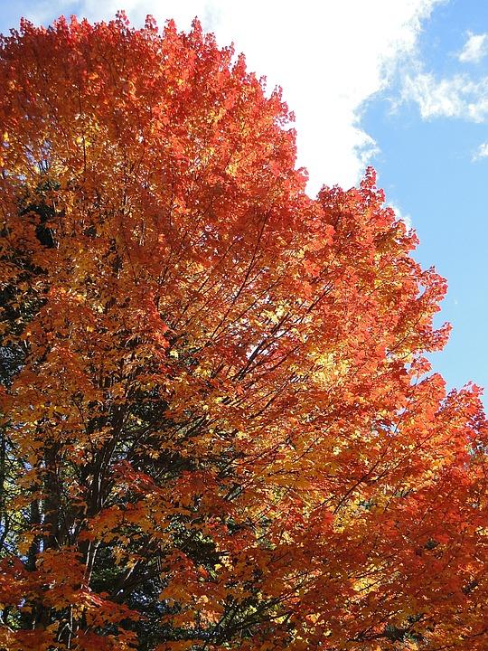 Foliage, Fall, Autumn, Orange, Tree, Leaves, Nature