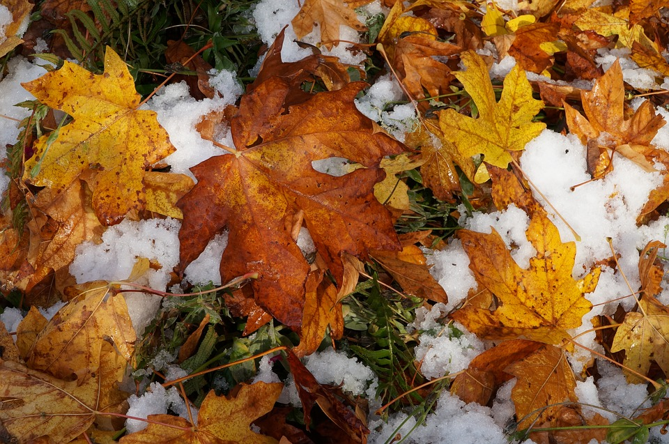 Fall, Leaf, Maple, Season, Nature, Outdoors, Snow