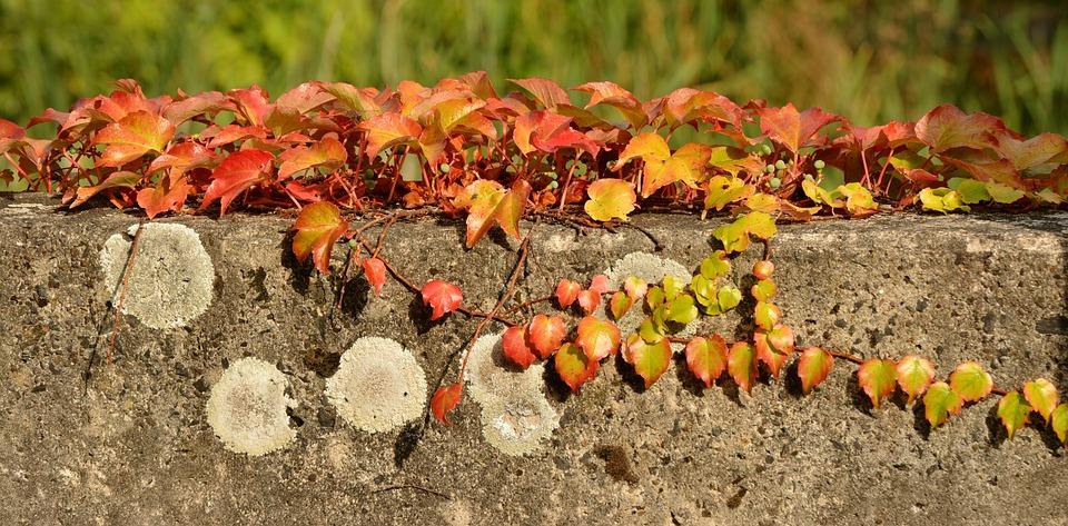 Fall Leaves, Ivy, Autumn, Efeuranke, Autumn Colours