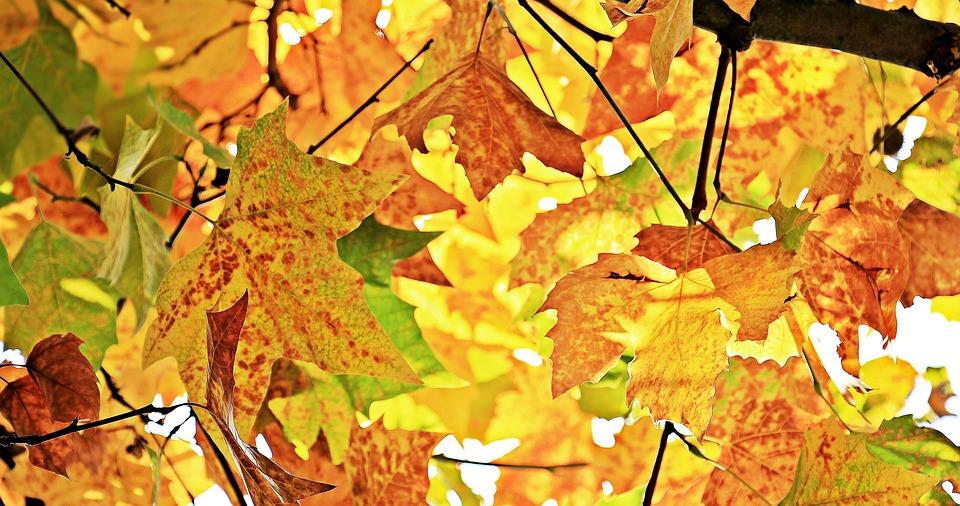 Chestnut Leaves, Leaves, Autumn, Foliage, Fall Leaves