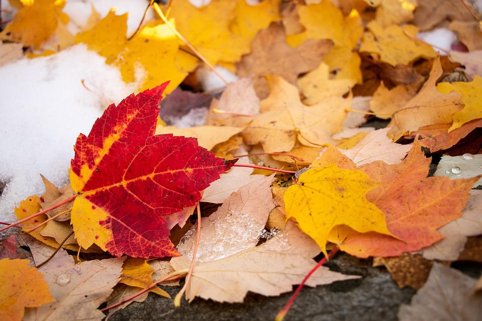 Maple Leaf, Fall, Autumn, Leaves, Maple, Leaf, Colorful
