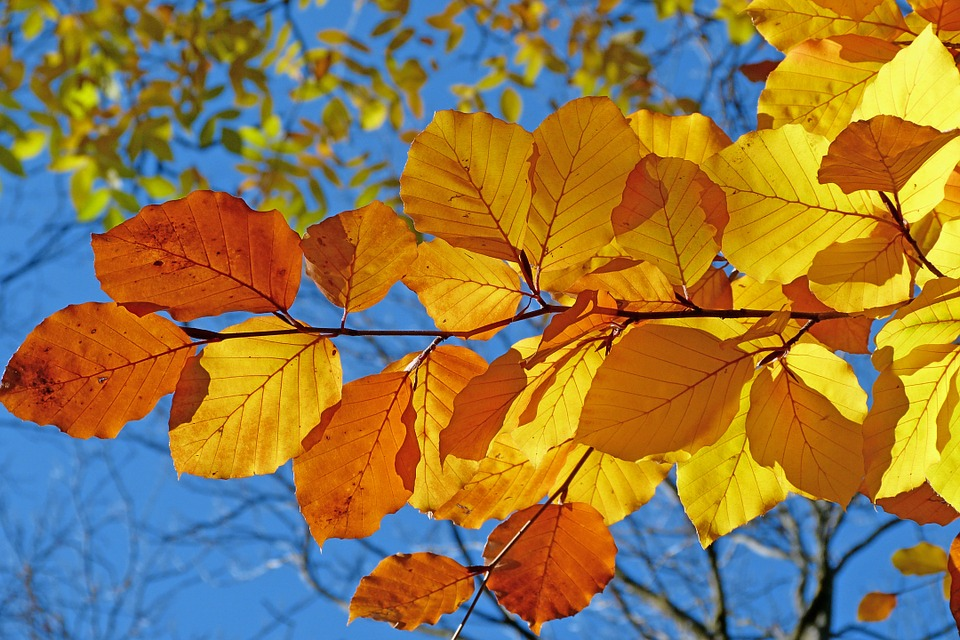 Foliage, Beech, Leaves, Fall, Bright Colors, Light