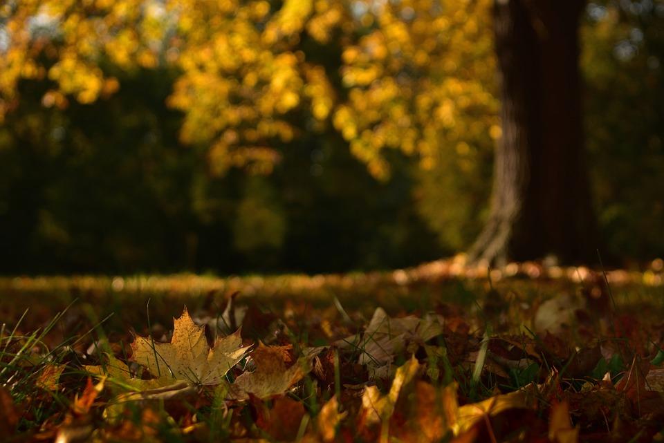 Maple Leaves, Leaves, Grass, Fallen Leaves, Fall Leaves