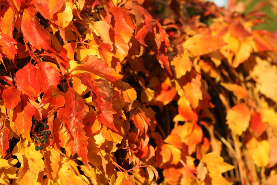Leaves, Plant, Indian Summer, Fall, Foliage, Nature