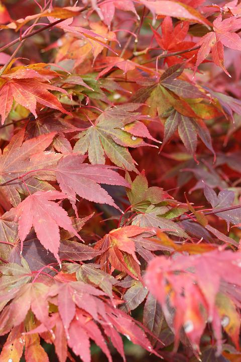 Japanese Maple Leaves, Fall Leaves, Red Leaves