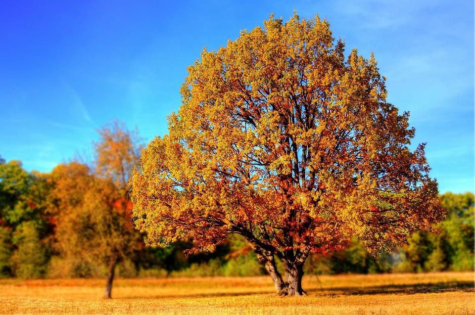 Tree, Fall, Fall Colors, Fall Leaves, Autumn