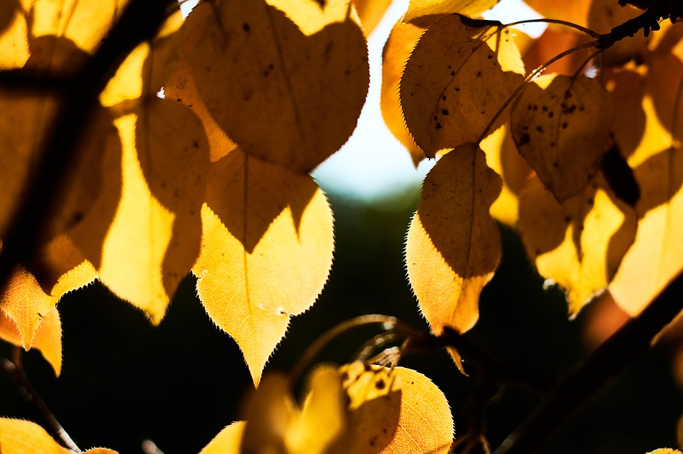 Leaves, Fall Leaves, Tree, Leaf, Stems, Vaines, Branch