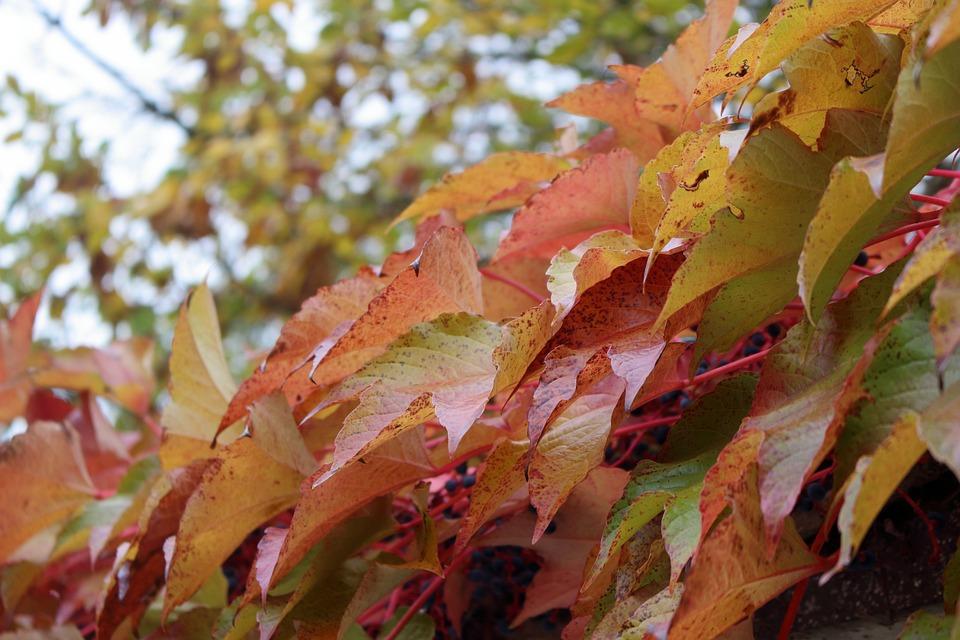 Autumn, Fall, Maple, October, Leaves, Nature, Leaf