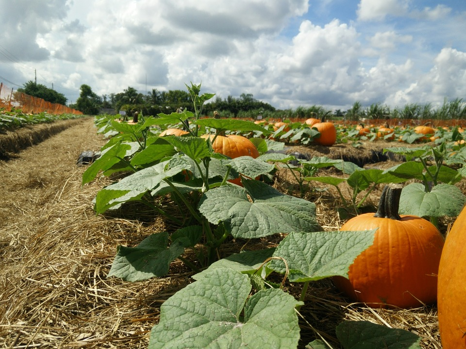 Pumpkin, Patch, Pumpkin Patch, Sky, Leaves, Fall