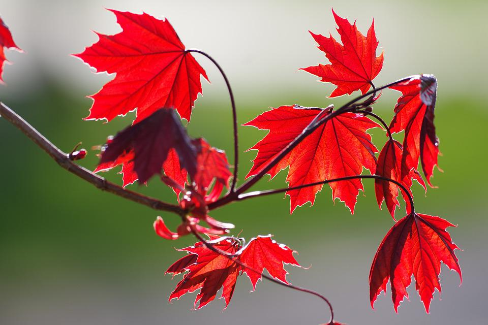 Red Maple, Leaves, Fall, Autumn, Maple, Foliage, Branch