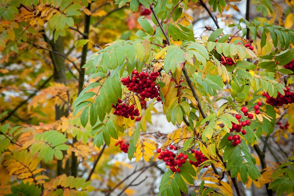 Rowanberry, Fall, Autumn, Rowan, Berry, Berries, Season