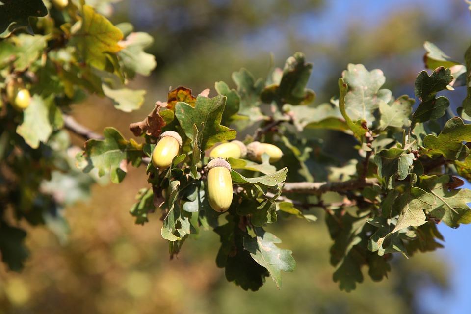 Oak, Acorns, Fall, Nature, Tree, Fruit