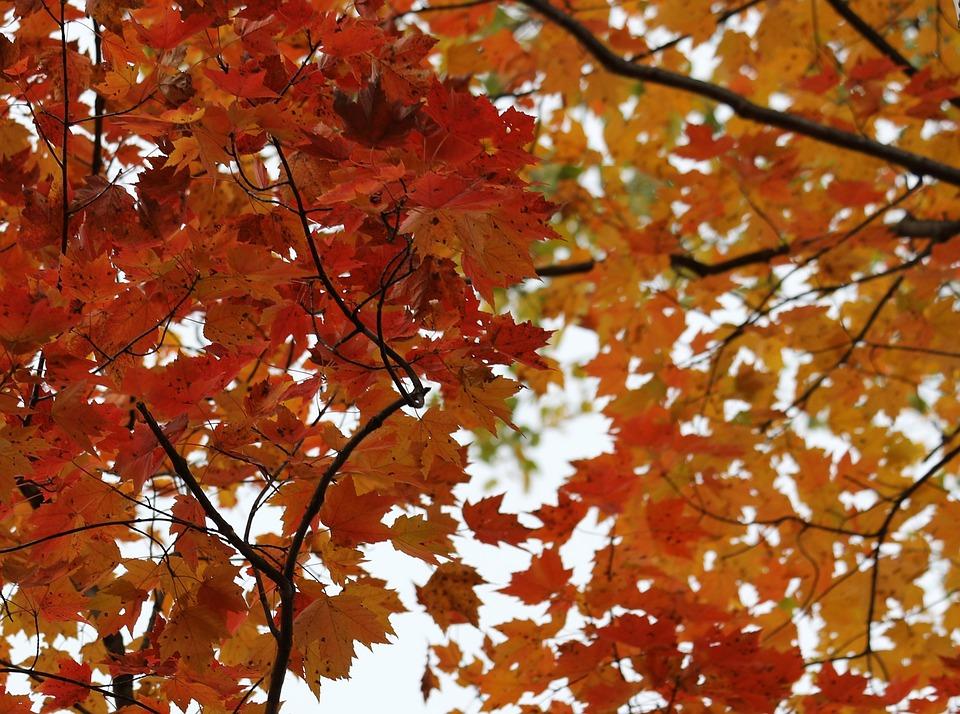 Birch, Birch Tree, Fall, Autumn, Leaf, Color, Trunk