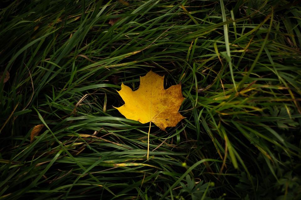 Maple Leaf, Grass, Autumn, Leaf, Fall, Fallen Leaf