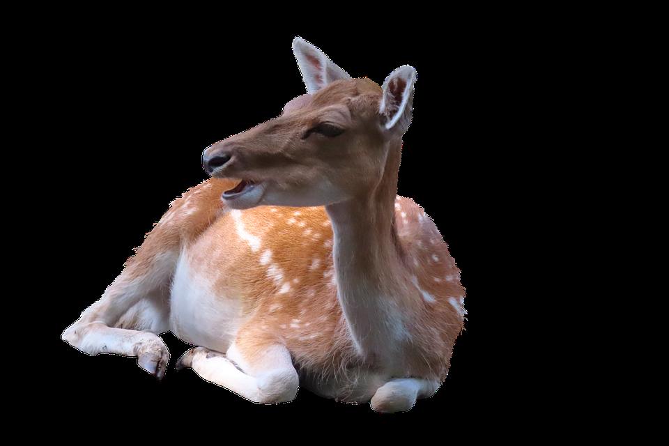 Deer, Fallow Deer, Animal, Mammal, Nature, Wild Animal