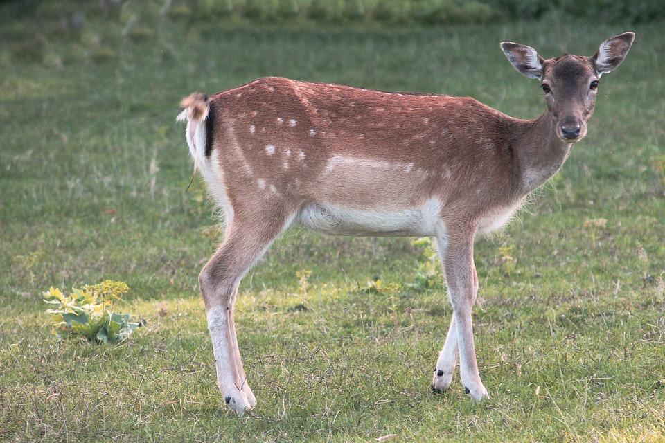 Glade, Roe Deer, Fallow Deer, Nature, Scheu, Animal