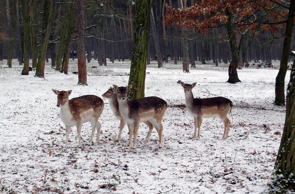Fallow Deer Group, Winter, Fallow Deer, Fur, Stains