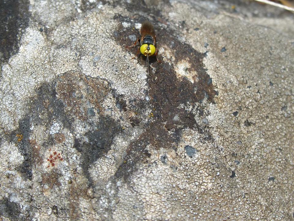 Hoverfly, False Bee, Rock, Lichen