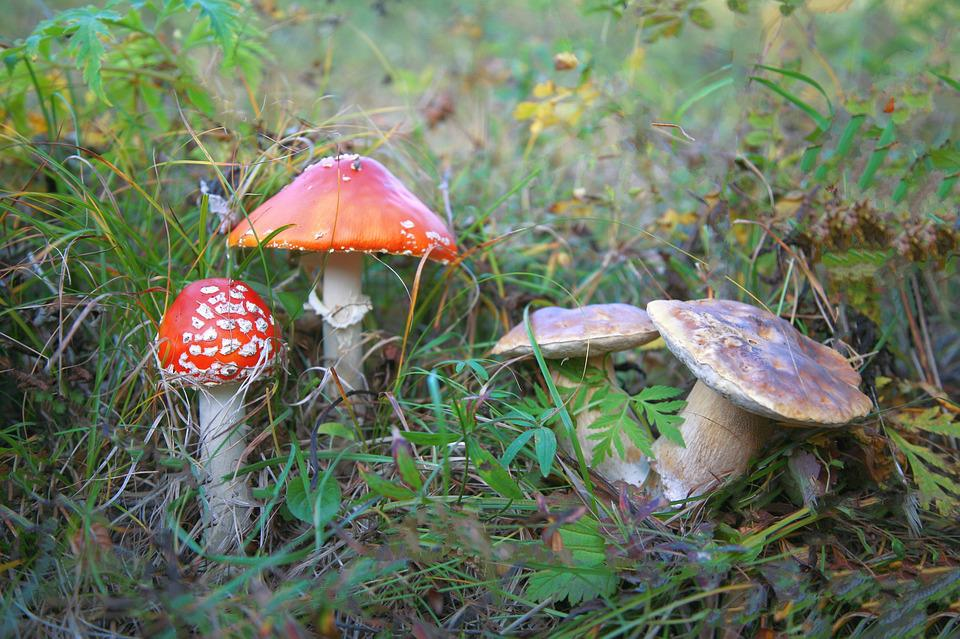 Amanita, Mushrooms, Family, Poisonous Mushrooms