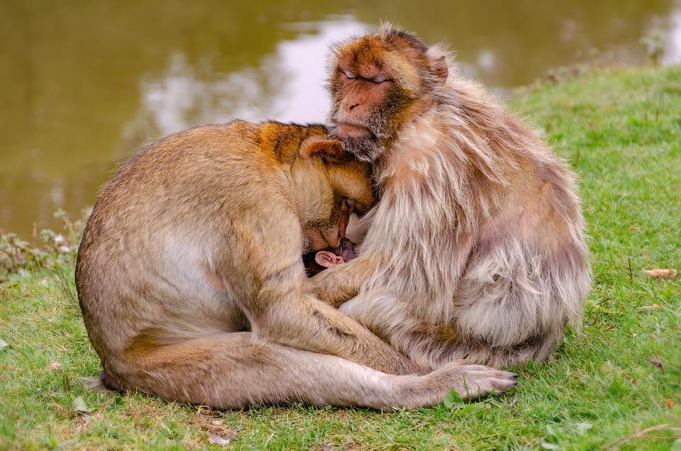 Barbary Monkey, Animals, Family, Barbary Ape, Ape