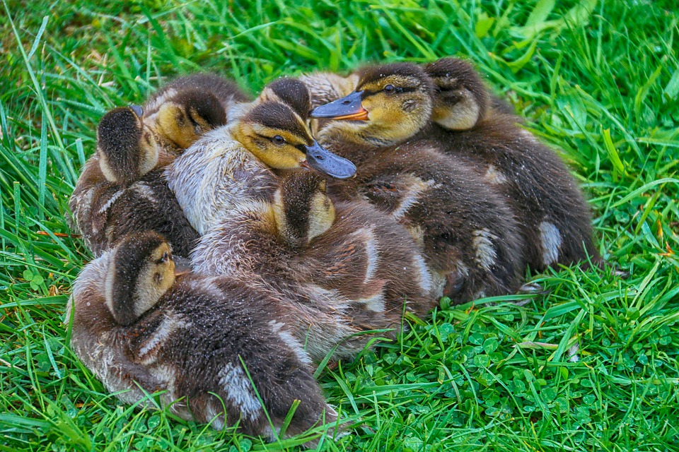 Free Photo Family Containment Cute Ducks Ducklings Duck Max Pixel