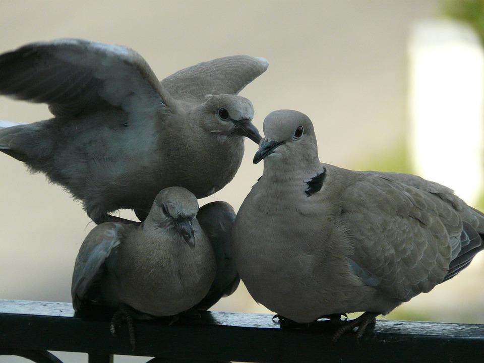 Dove, Birds, Family, A Quarrel, Nature