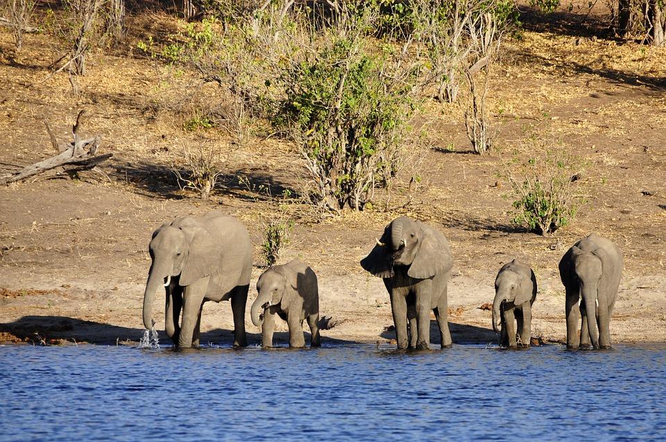 Elephant, Water Elephant, Elephant Calf, Family, Drink