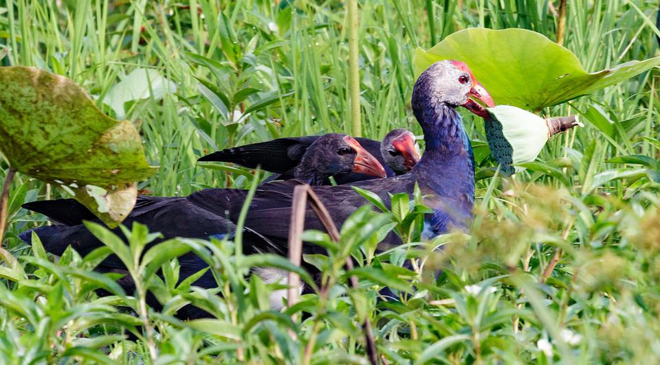 Nature, Bird, Grass, Animal, Outdoors, Lotus, Family
